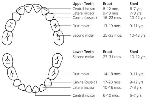 eruption chart